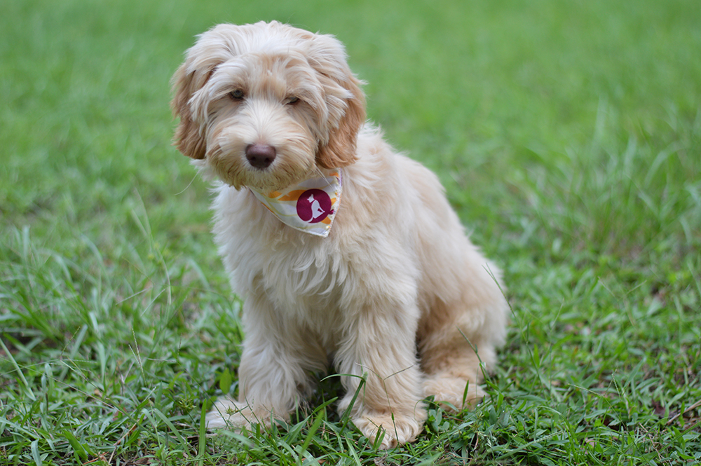 A Day in the Life of Winston the Labradoodle - Styelled